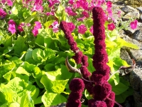 amaranthus-red-cathedral-superior_7