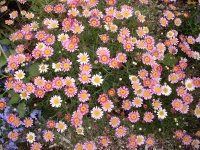 anthemis-daisy-crazy-strawberry-pink_4