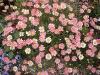 anthemis-daisy-crazy-strawberry-pink_4