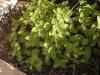 Mentha gracilis x citrata