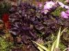 Ocimum basilicum 'Dark Opal'