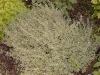 Thymus x citriodorus 'Argenteus'