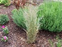 Calamagrostis x acutiflora \'Overdam\'