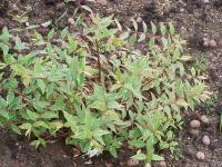 Hypericum moserianum \'Tricolor\'