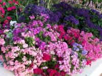 Phlox drummondii \'Grandiflora\'
