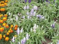 Salvia farinacea \'Strata\'