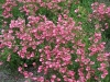 Diascia barberae 'Hot Pink'