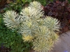 Euphorbia characias 'Emmer Green'
