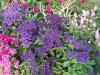 Heliotropium arborescens 'Blue Wonder'