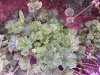 Heuchera 'White Cloud'