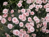 Dianthus 'Balley's Celebration'