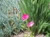 Ranunculus 'Friandine'