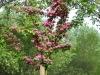 Crataegus laevigata 'Paul's-Scarlet'