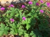 Geranium psilostemon 'Bressingham Flair'