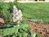 Salvia sclarea var. turkestanica