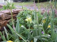 Tulipa 'Spring Green'