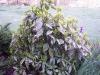 Aucuba japonica 'Crotonifolia'