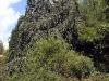 Fagus sylvatica f. pendula