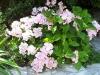 Hydrangea macrophylla 'Hovaria'