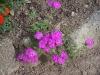 Phlox Intensia 'Lavender Glow'