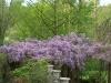 Wisteria floribunda