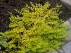 Lysimachia nummularia 'Goldilocks'