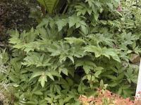 Angelica archangelica