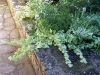 Helichrysum lanatum 'Gold'