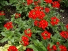 Verbena 'Rowersum Malice Red Eye'