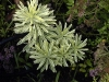 Euphorbia characias 'Burrow Silver'