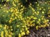 Thymophylla tenuiloba 'Etoile filante'