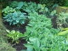 Jardin florentin, hostas 08