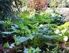 Jardin florentin, hostas 09