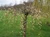Salix caprea 'Kilmarnock'