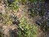 Campanula glomerata