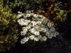 Leucanthemum vulgare 'Maikönigin'