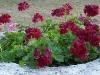 Pelargonium 'Barbe-Bleue'
