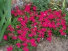 Phlox 'Surphlox rouge'