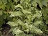 Polemonium caeruleum 'Brise d'Anjou'