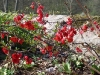Chaenomeles japonica rouge
