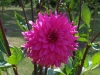 Dahlia 'Gay Princess'