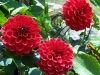 Dahlia 'Ruby Wedding'