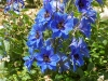 Delphinium 'Gentian Blue'