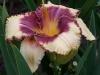Hemerocallis 'Alaqua'