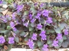 Viola labradorica