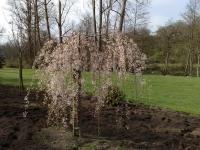 Prunus X subhirtella 'Pendula'