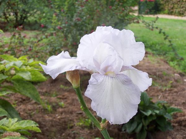 Les jardins du gu bosquet du muret for Aubade jardin d iris