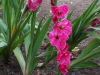 Gladiolus 'Invitation'
