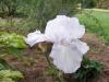 Iris 'Aubade'