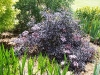 Sambucus nigra 'Black Lace Eva'